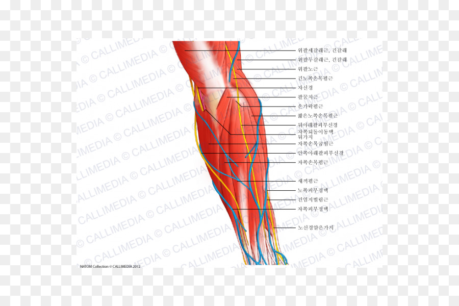 Hand Nerve Muscle Forearm Anatomy - hand png download - 600*600 ...