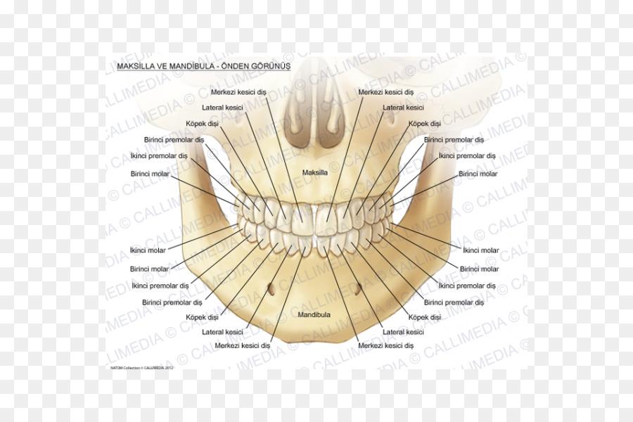 Maxilla Mandible Anatomy Bone Human Tooth Anatomi Png
