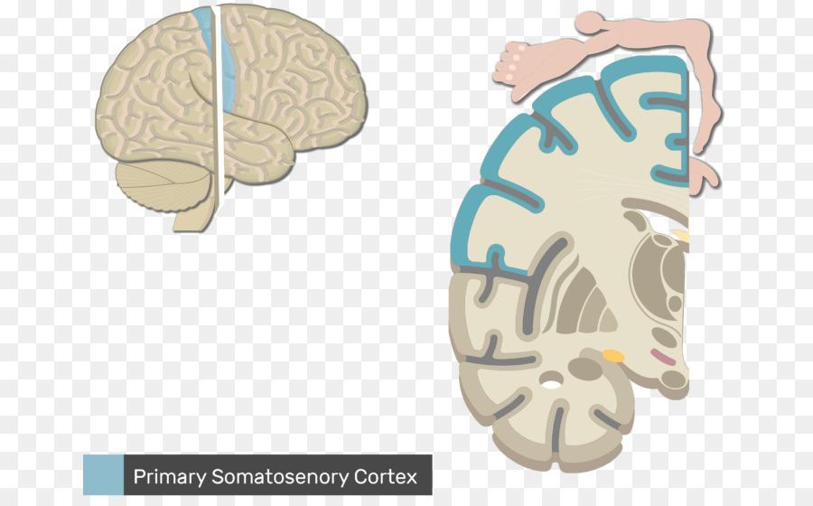 Sistema nervioso somático Anatomía Sensorial del sistema nervioso ...