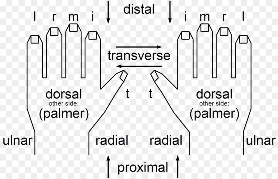 La cadena de la figura de la Anatomía del Dedo del Juego del cuerpo ...