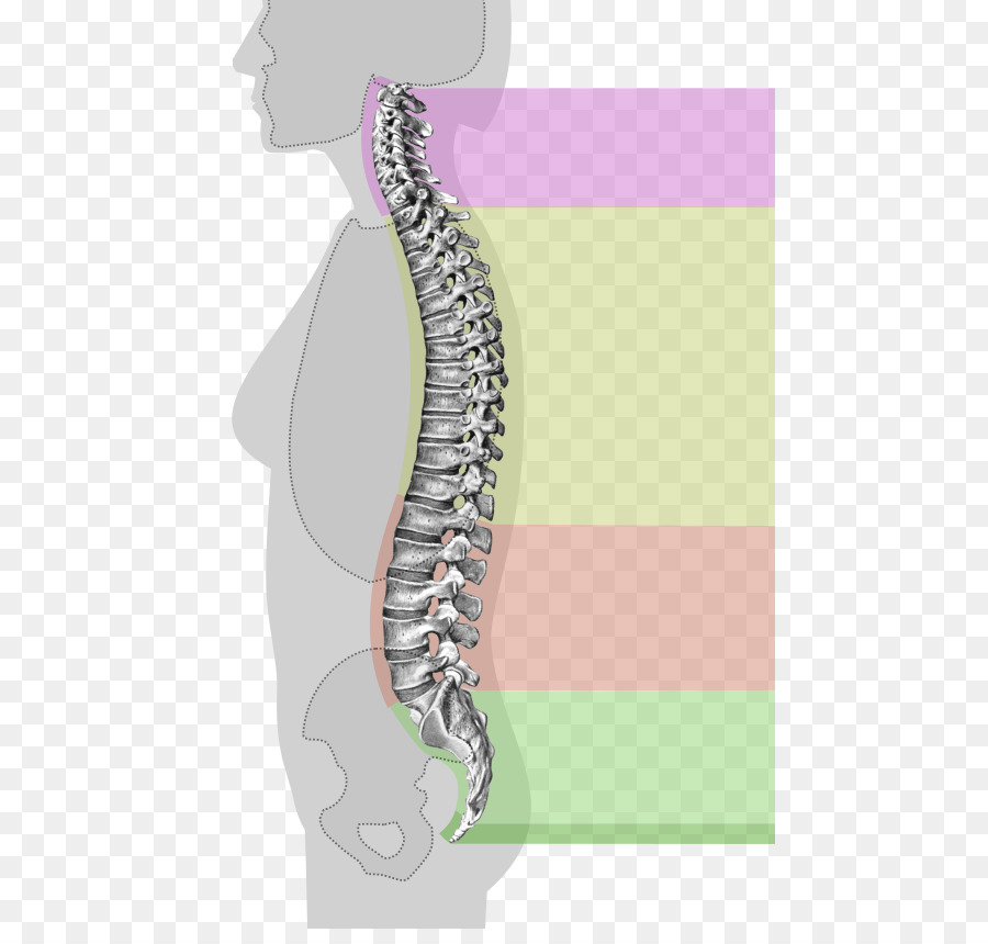Vertebral Column Anatomy Cervical Vertebrae Spinal Cord Book Spine