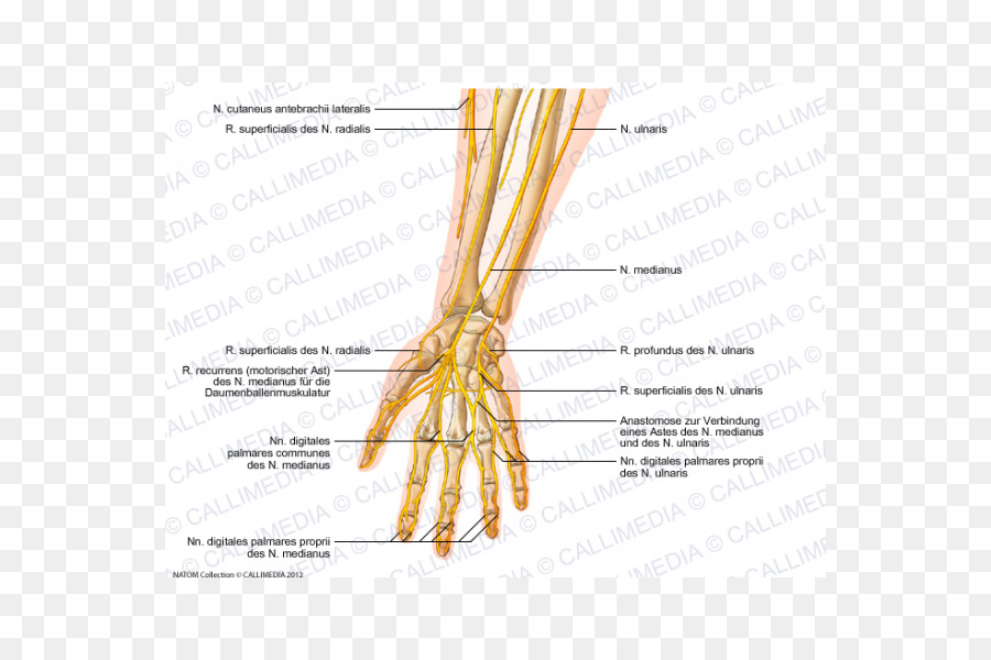 Forearm Ulnar nerve Anatomy - arm png download - 600*600 - Free ...