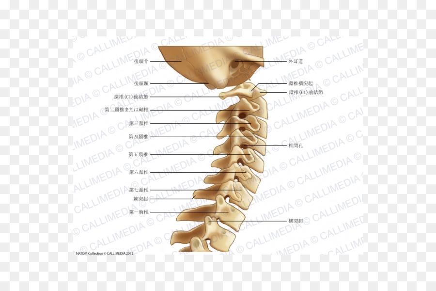 Vértebras cervicales de la columna Vertebral Anatomía dolor de ...
