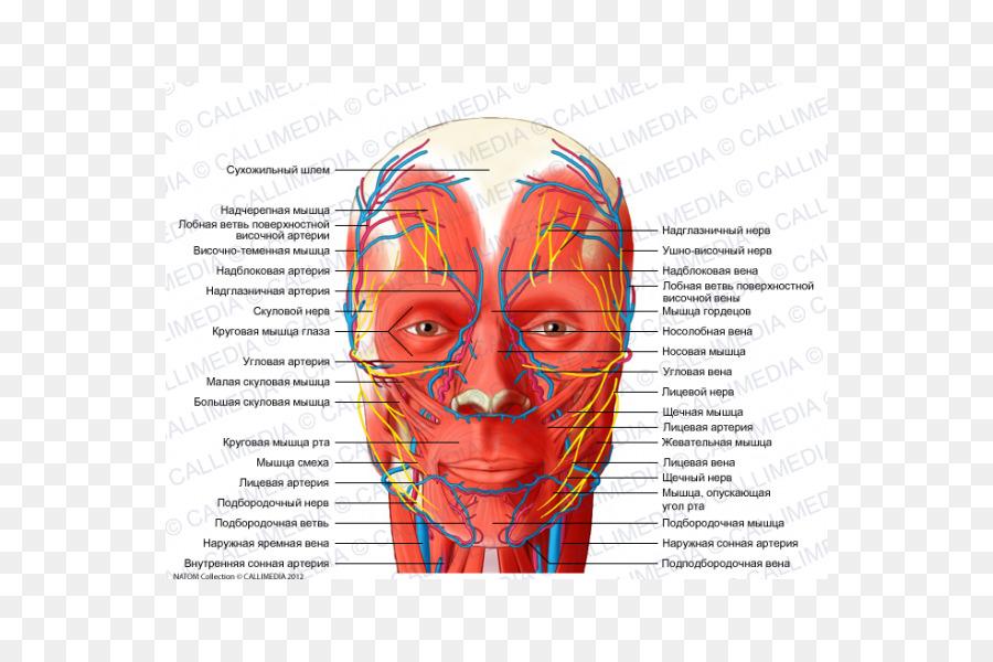 Head And Neck Anatomy Blood Vessel Nerve Supratrochlear Artery Human