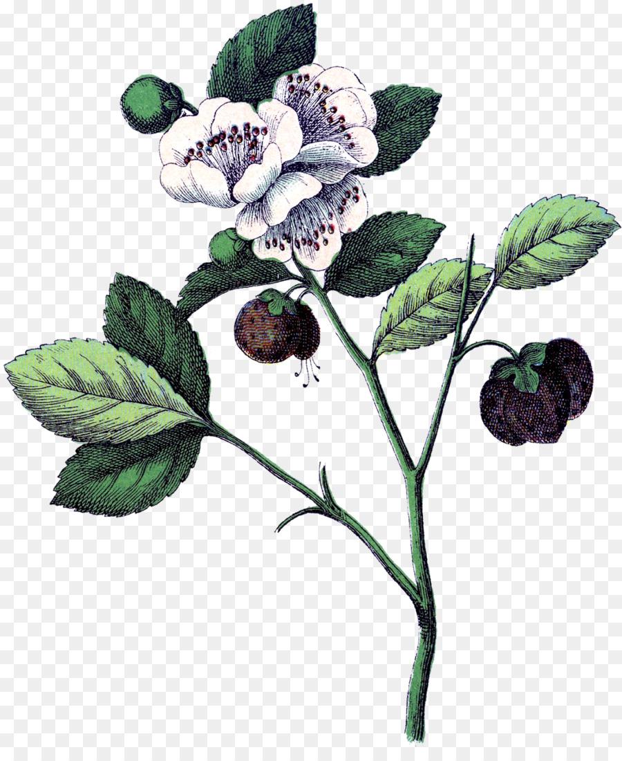 Ilustración botánica de la Fresa de Botánica de la Flor de la Planta ...