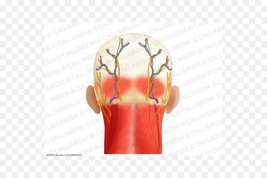 Muscle Head Anatomy Posterior triangle of the neck - superficial ...