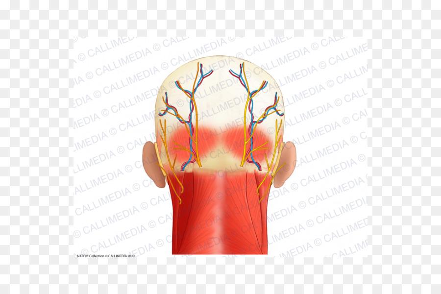 Músculos de la Cabeza de la Anatomía del triángulo Posterior del ...