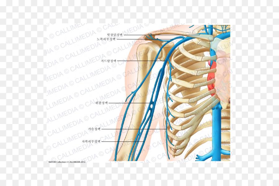 Vena cefálica del sistema Circulatorio Anatomía del cuerpo Humano ...