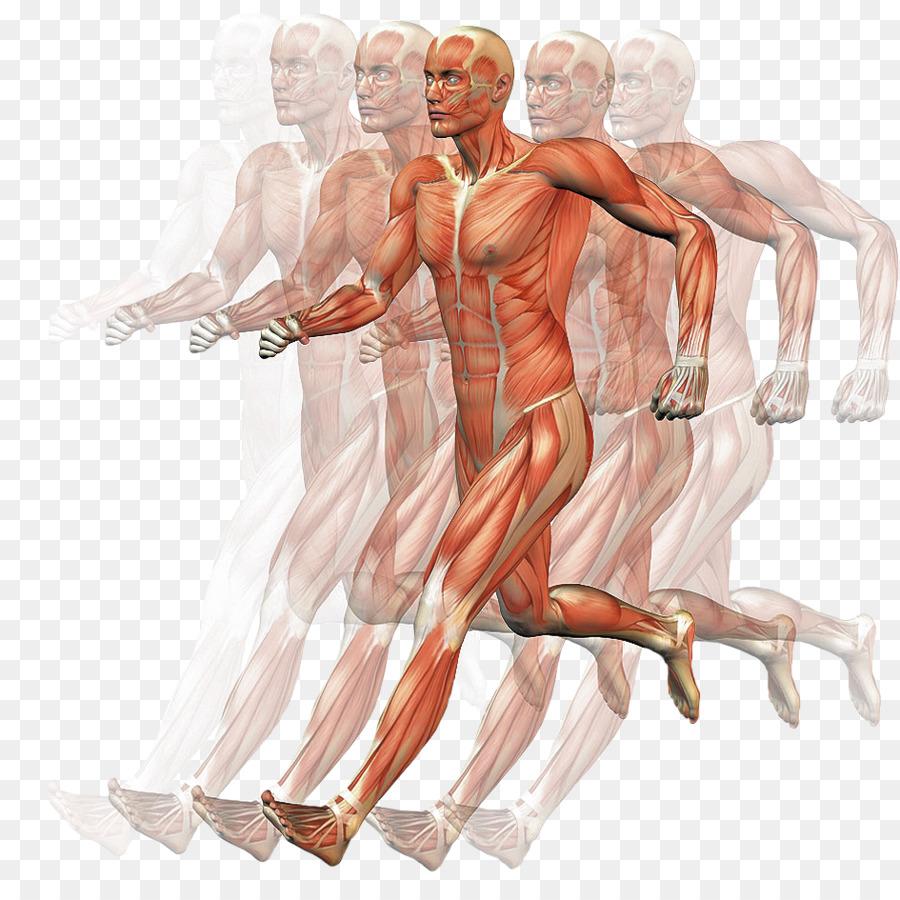 El Homo sapiens Músculo del cuerpo Humano Anatomía de Movimiento ...