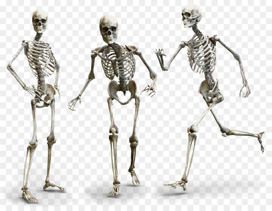 Human Body Human Skeleton Human Anatomy Homo Sapiens Skeleton Png