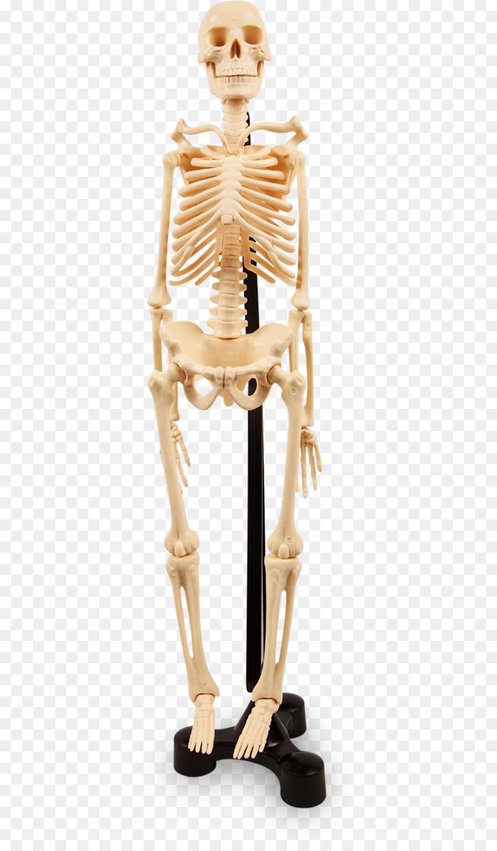 Human skeleton Joint Anatomy Bone - human bones png download - 400 ...