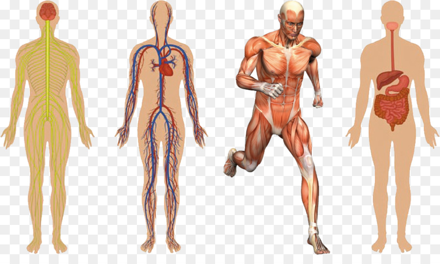 Anatomy Human Body Muscular System Human Skeleton Muscle Healthy
