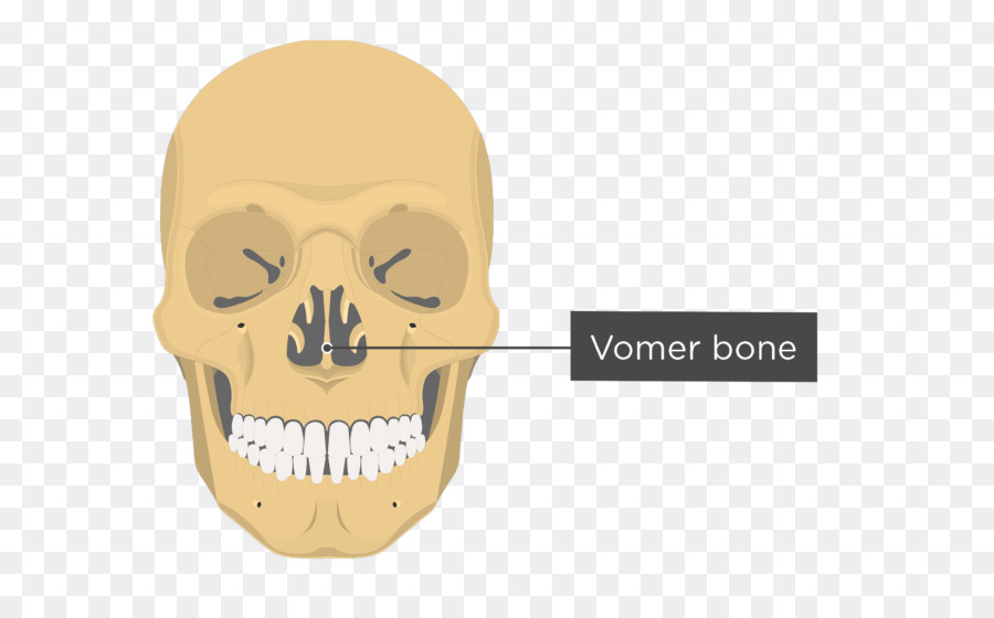 Vomer Lacrimal bone Nasal bone Anatomy - skull png download - 745 ...