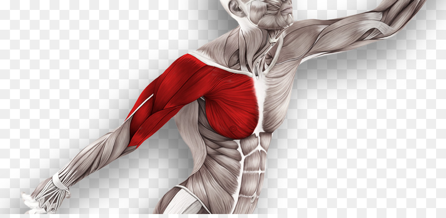 Muscle Tissue Muscular System Technique Anatomy Massage Physical