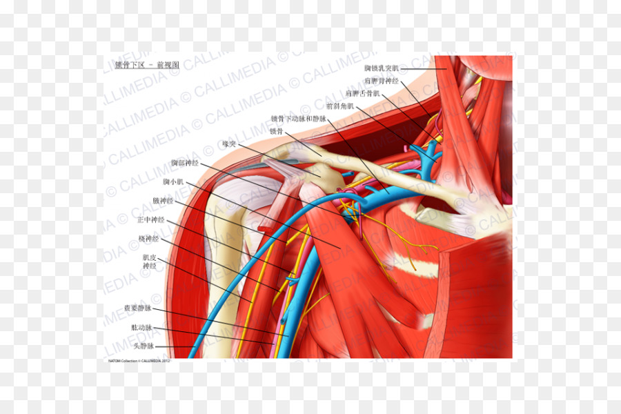 Infraclavicular Fossa Anatomy Subclavian Artery Scalene Muscles