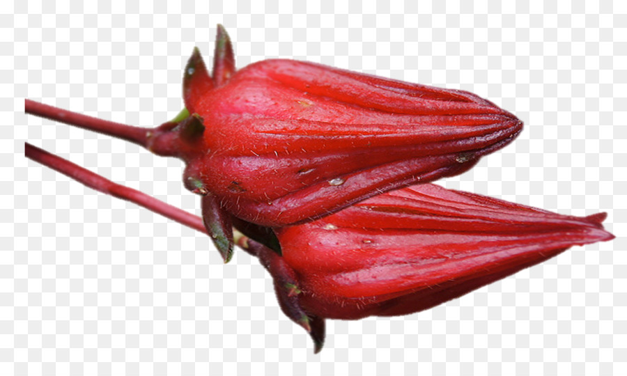 Hibiscus Tea Roselle Flower Anthocyanin Drawing Flor De Jamaica