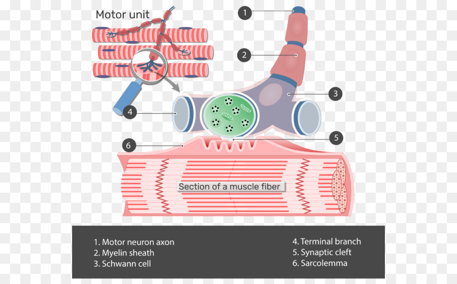 The Neuromuscular Junction Motor Unit Anatomy Muscle Junctions