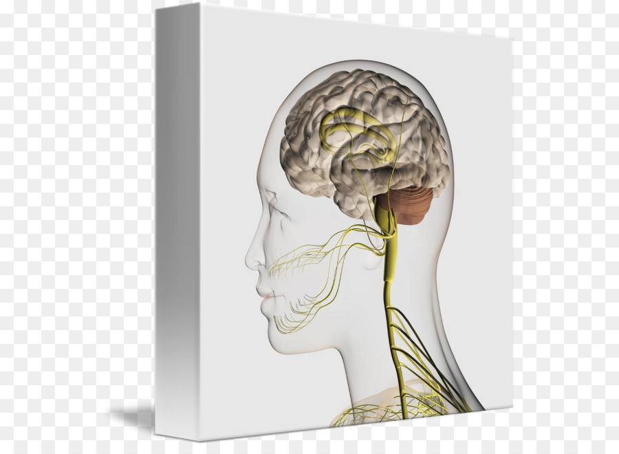 Somatic nervous system Peripheral nervous system Brachial plexus ...