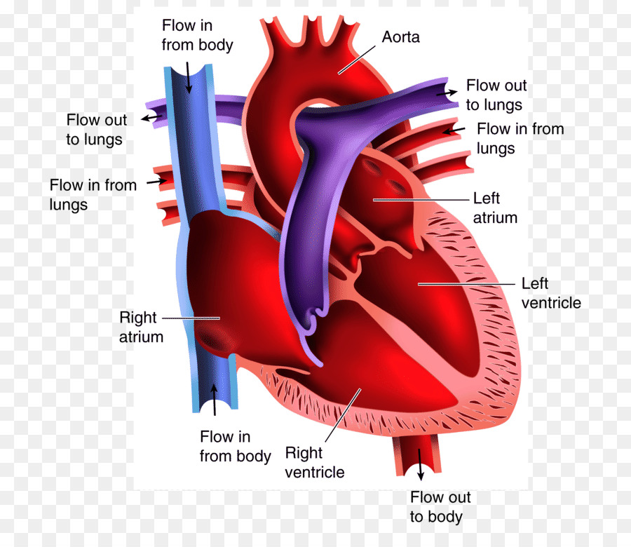 Anatomy Of The Heart Diagram Drawing Heart Png 800767