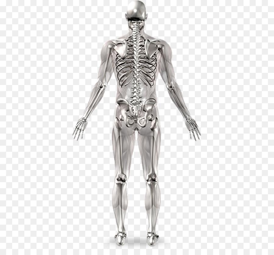 Esqueleto humano de la Articulación de la Anatomía del cuerpo Humano ...
