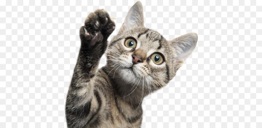 Kitten Cat png download - 582*440 - Free Transparent Kitten png