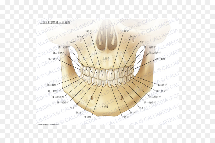 Maxilla Mandible Anatomy Human body Bone - stereoscopic anatomy of ...
