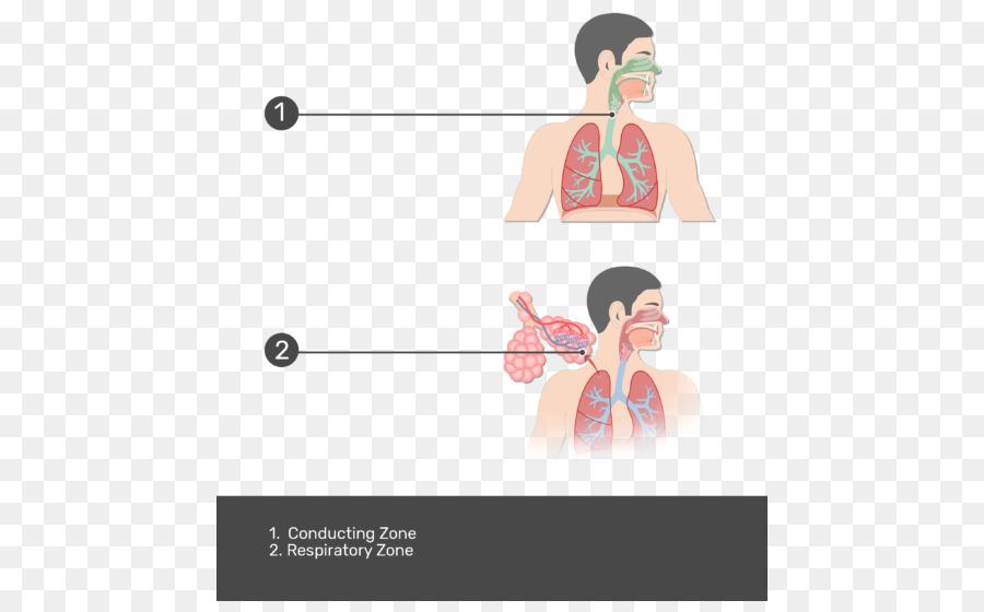 Tracto respiratorio sistema Respiratorio Pulmonar alvéolos ...