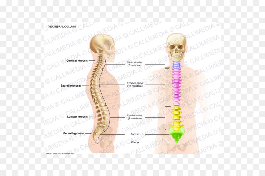 La columna Vertebral Anatomía de la Lordosis de la médula Espinal ...