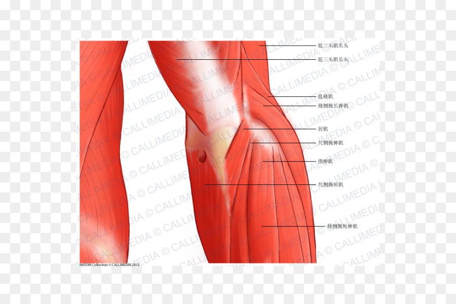 Elbow Nerve Anconeus Muscle Anatomy Elbow Cartoon Png Download