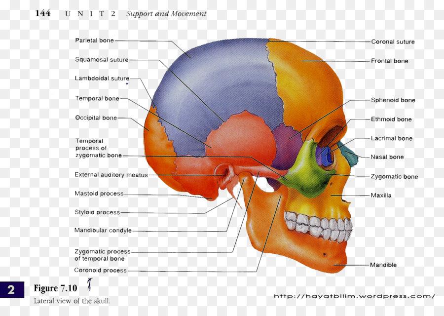 Skull Human Anatomy Human Body Human Skeleton Skull Png Download