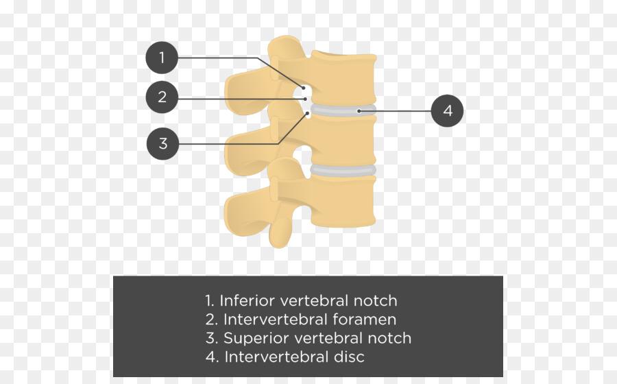 Articulación de las vértebras Lumbares de la columna Vertebral ...