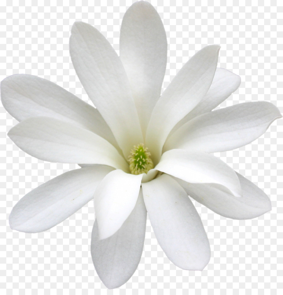 Cape Jasmine White Arabian Jasmine Flower Petal Flower Png