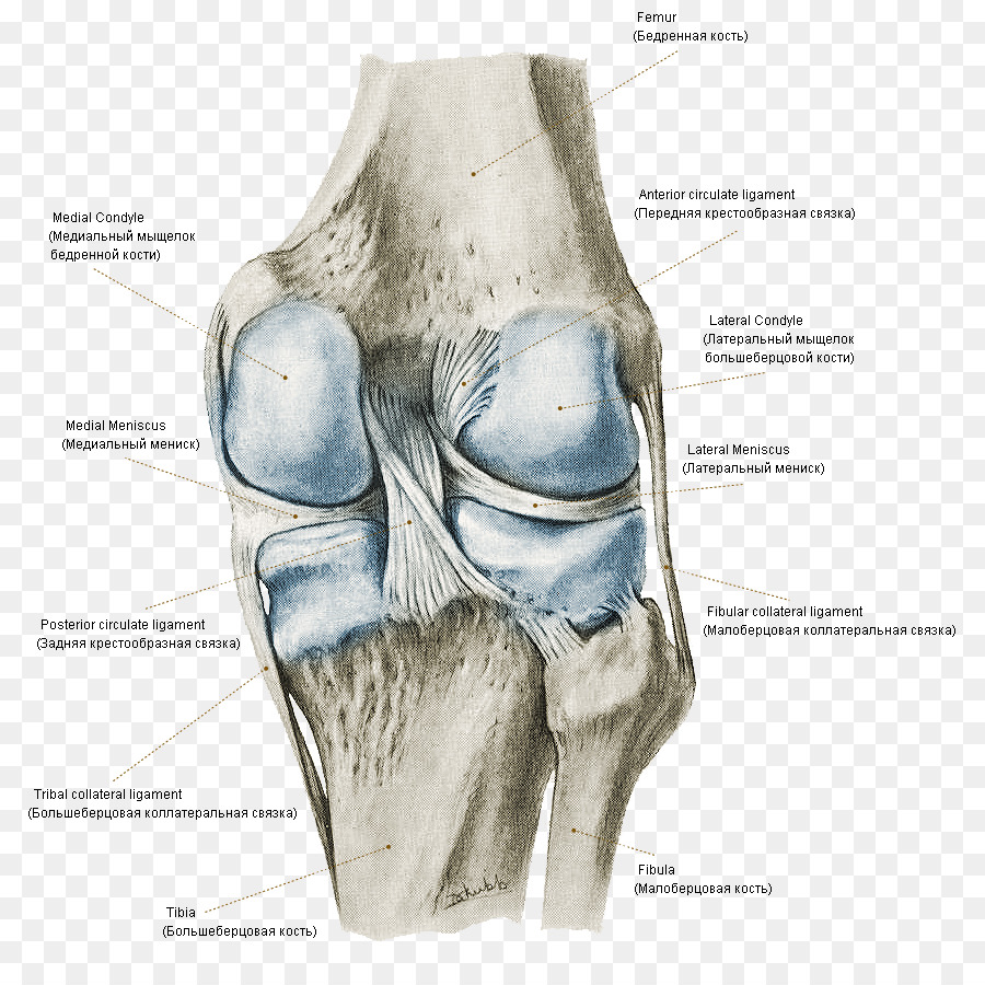 Atlas Of Human Anatomy Knee Bone Joint Knee Png Download 851890