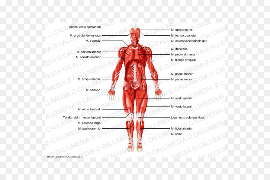 El músculo esquelético Homo sapiens sistema Muscular del cuerpo ...