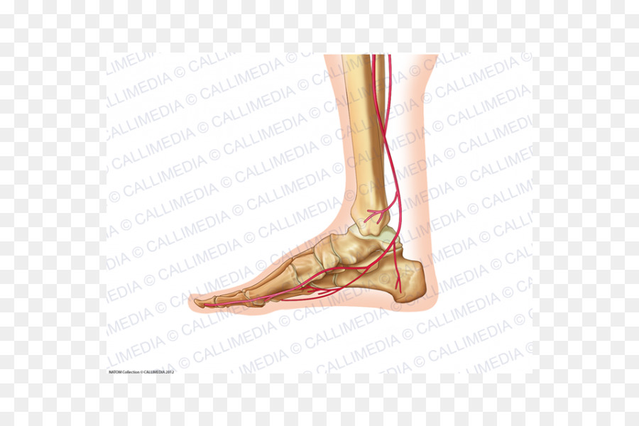 Foot Ankle Human body Anatomy Artery - 360 Degrees Formatos De ...
