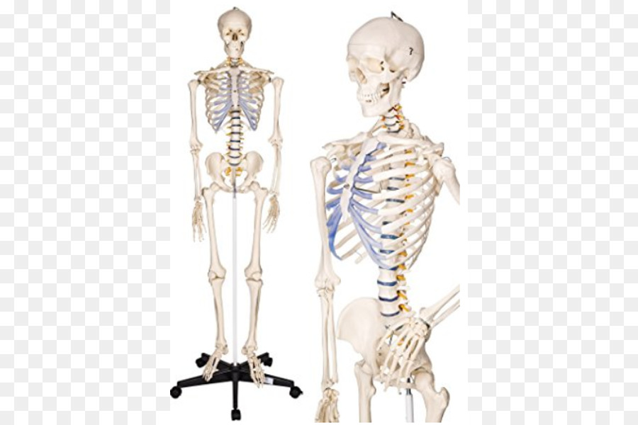 Human skeleton anatomy human body the skeletal system skeleton png human skeleton anatomy human body the skeletal system skeleton ccuart Images