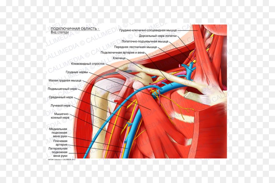 La fosa Infraclavicular de la arteria Subclavia Anatomía del plexo ...