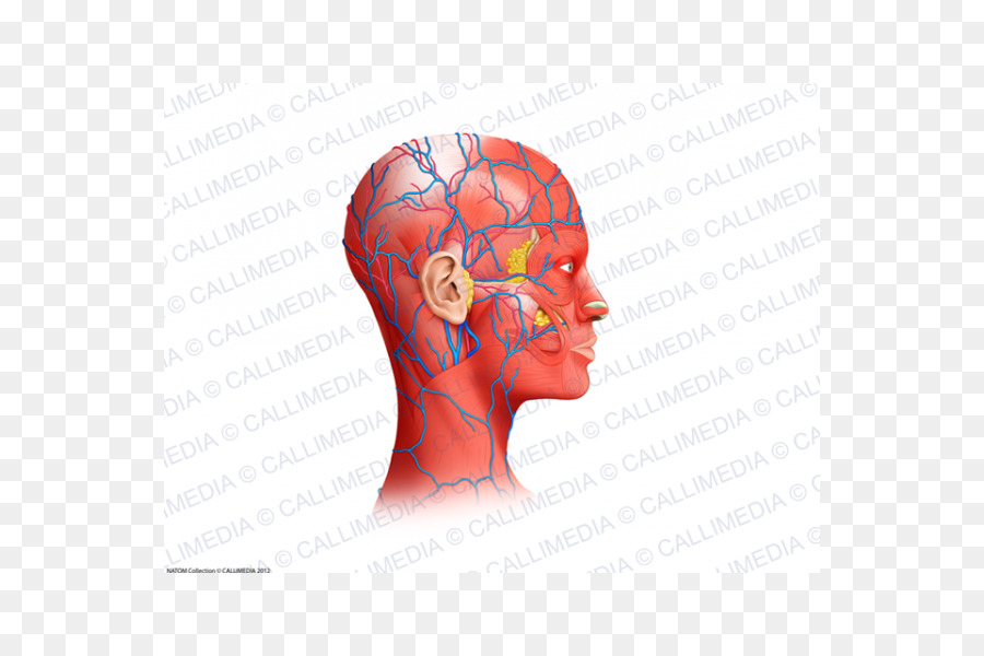 Neck Muscle Blood Vessel Head Anatomy Head Muscles Png Download