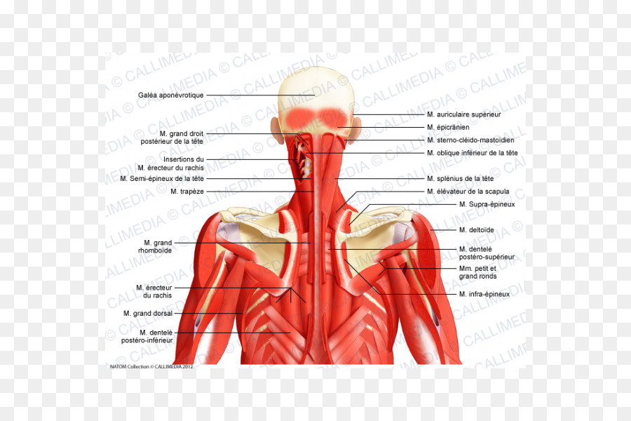 Posterior Triangle Of The Neck Head And Neck Anatomy Human Body