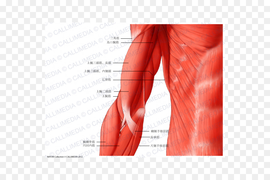 Shoulder Muscle Arm Human anatomy Human body - arm png download ...