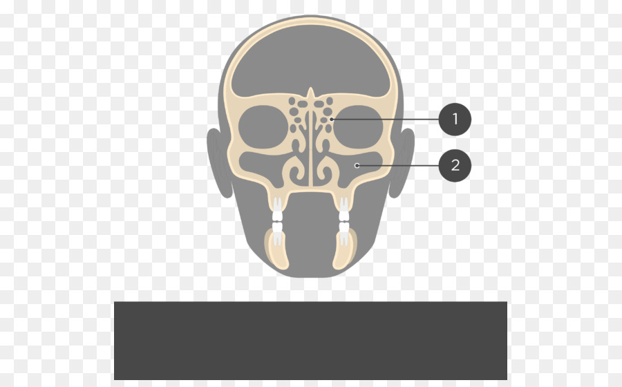 Perpendicular Plate Of Ethmoid Bone Ethmoid Sinus Frontal Bone