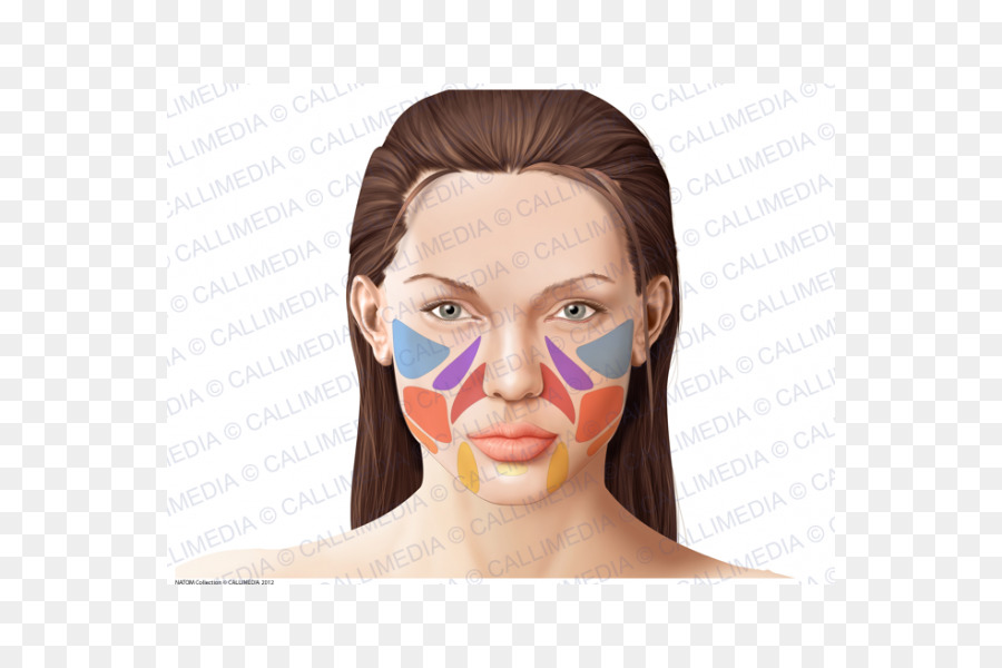 Human anatomy Face Physiology Skin - Face png download - 600*600 ...