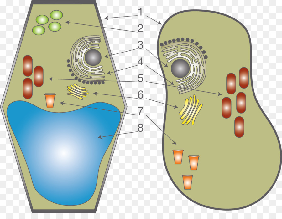 Plant cell Cèl·lula animal Anatomy Organelle - Ellen Page png ...
