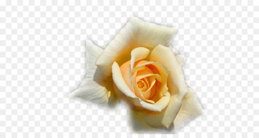Desktop Wallpaper Photography Rosas Blancas Png Download 700467