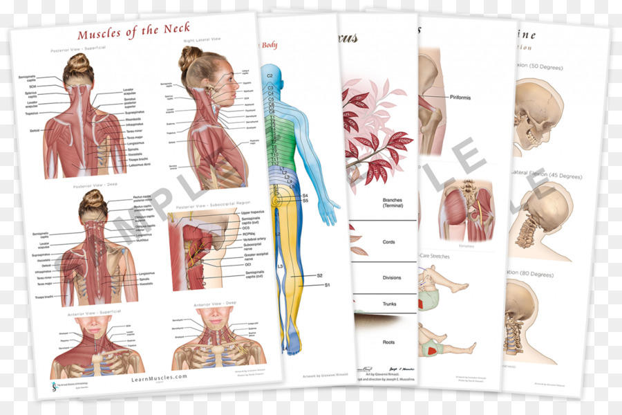 Anatomy Trains: Myofascial Meridians for Manual and Movement ...