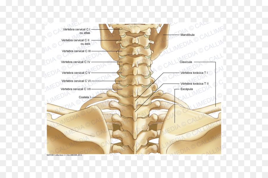 Neck Bone Human Body Human Skeleton Anatomy Skeleton Png