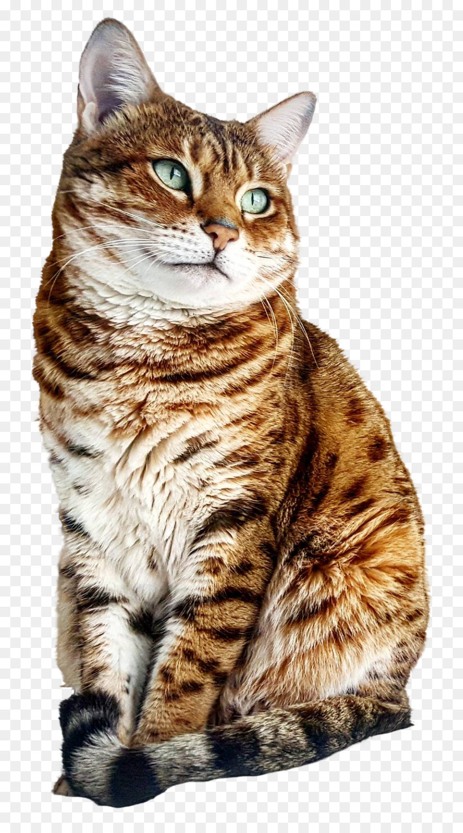 Dragon Li Bengal cat American Shorthair American Bobtail European ...