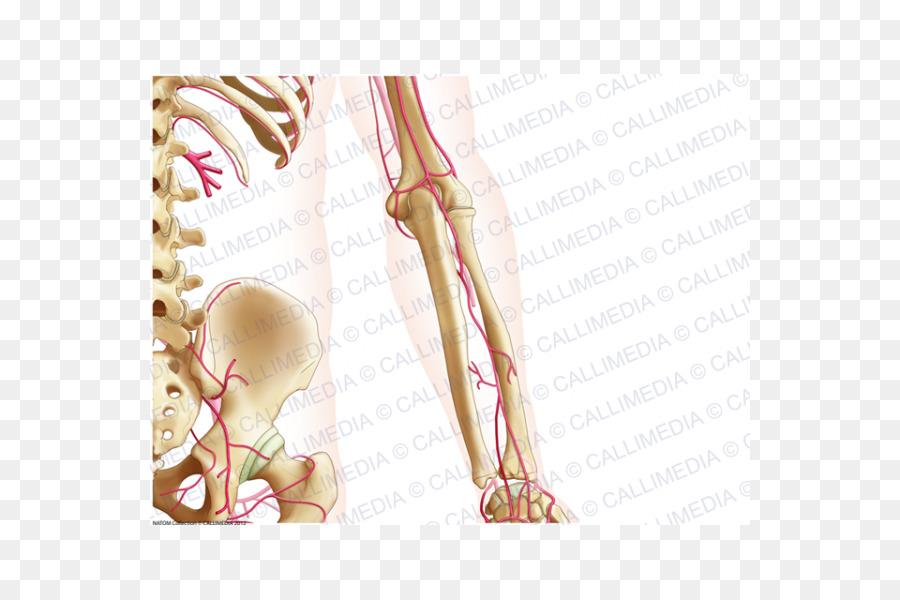Dedo Hueso Del Antebrazo Anatomía - brazo png dibujo - Transparente ...