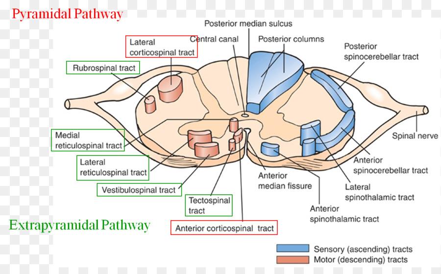 extrapyramidal symptoms extrapyramidal system chlorpromazine pyramidal tracts vestibulospinal tract brain