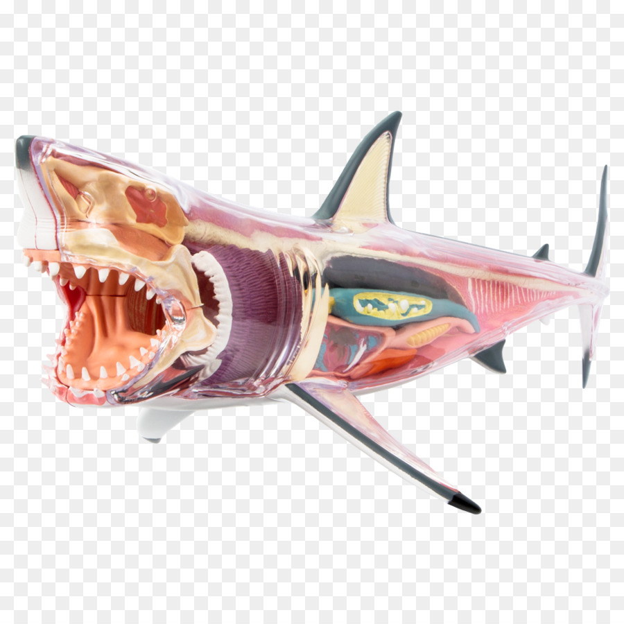 Great white shark Chumming Shark anatomy - shark png download - 1000 ...